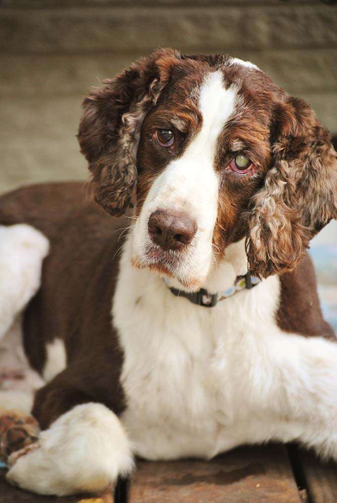 Liver and white Springer, Bogie, with an inquisitive look