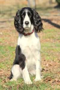 Black and white springer girl sitting