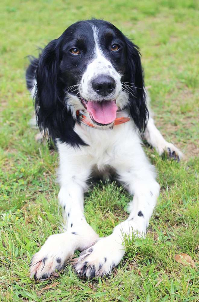 black and white springer with leg deformities