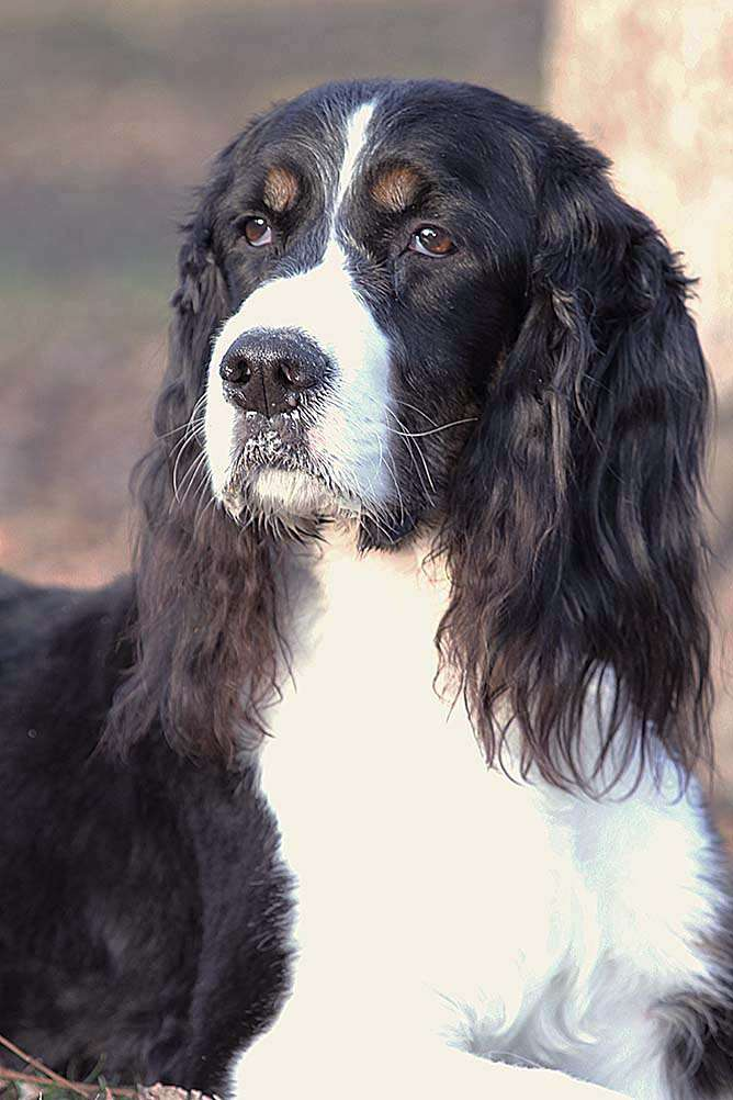 tricolor black and white springer with a regal gaze in a three quarter profile