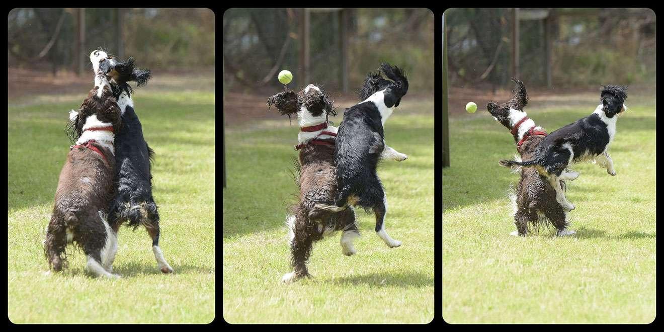 English Springer Spaniels at play, action series