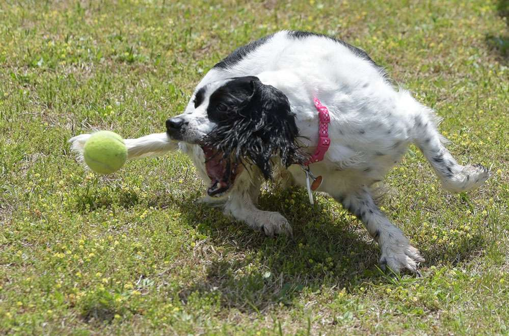 English Springer Rescue America dog chases tennis ball