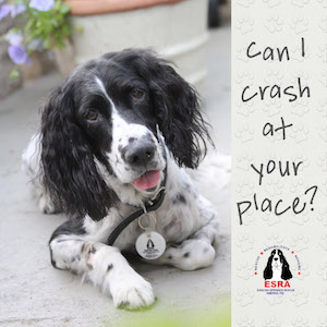 English Springer Rescue America - English Springer Rescue