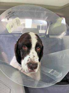 ESRA Special Needs dog Jack heads home post-surgery