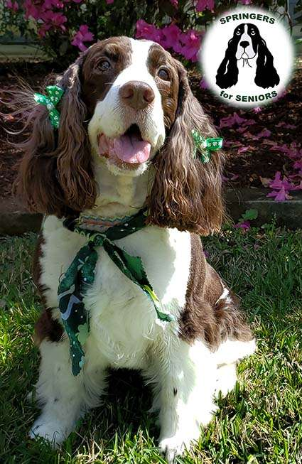 West - English Springer Rescue America