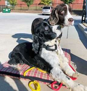 Billy and Bonnie, fundraising for eye surgery, English Springer Rescue America