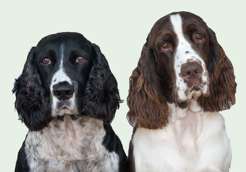 a black and white Springer and a liver and white Springer gazing directly at viewer