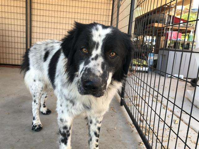 Beethoven at MCACC West Valley Animal Care Center in Phoenix, AZ